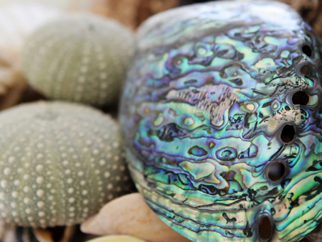 South African Abalone Shell