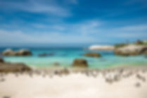 penguins-boulders-beach-south-africa-shu