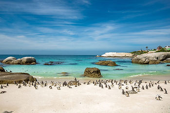 penguins-boulders-beach-south-africa-shu