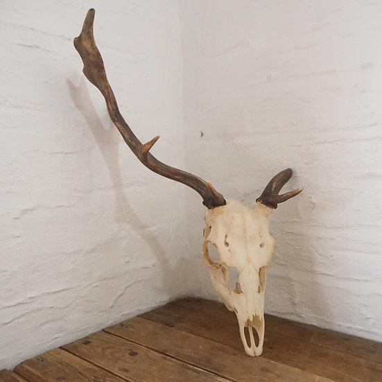 Large Asymmetrical Unusual Antlers Skull