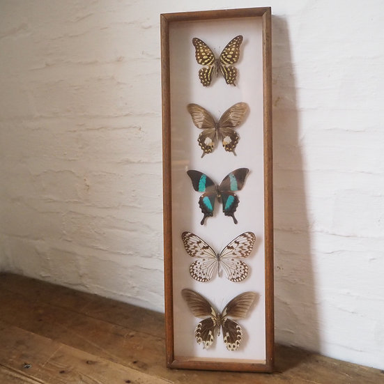 Blue Tall 5 Butterfly Specimen Case Frame