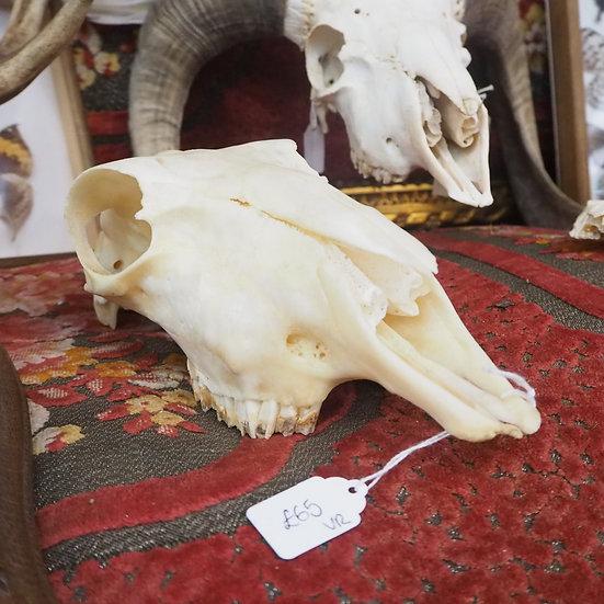 Unmounted Deer Skull with Teeth