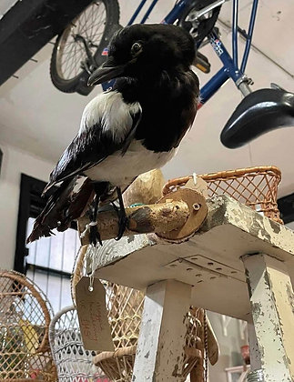 Taxidermied Magpie for Carol.