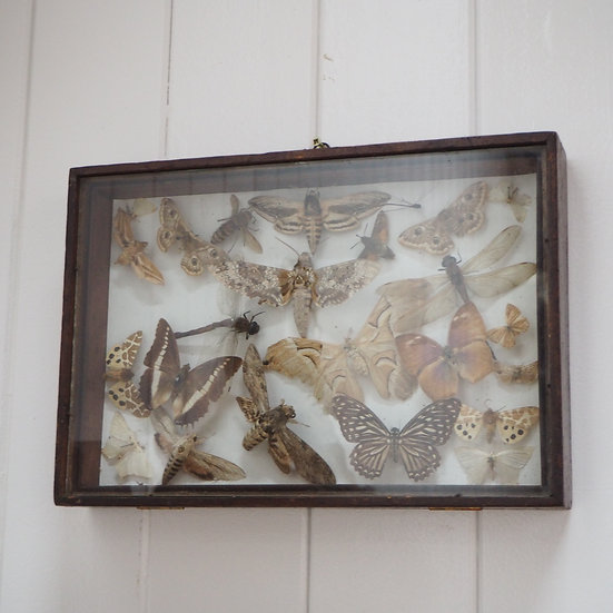 Case of Mixed Taxidermied Butterflies and Moths