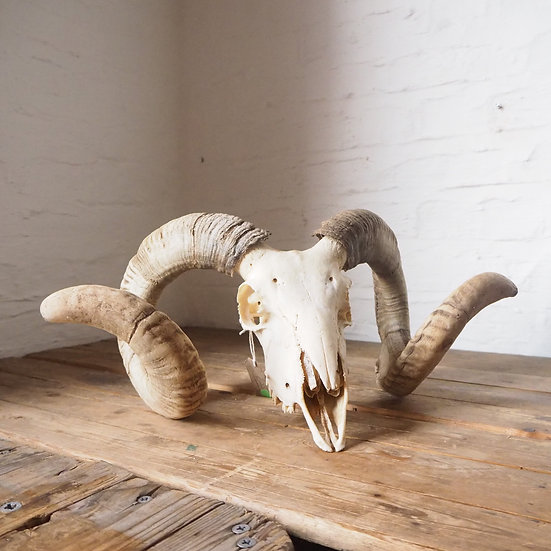 Extra Large Ram Skull with Curled Horns