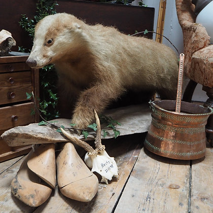 Rare Taxidermy Erythristic Blonde Badger