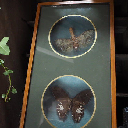 Pair of early 20th Century Framed Butterfly/Moth