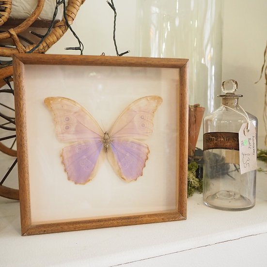 Morpho Didius Iridescent Pastel Butterfly Specimen Case Frame