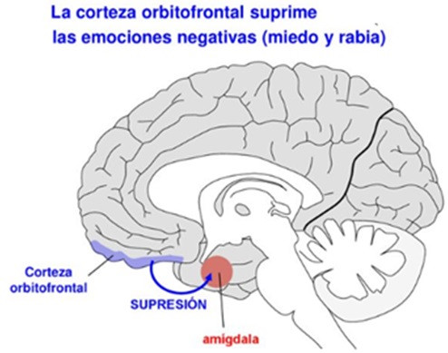 Corteza orbitofrontal cerebro