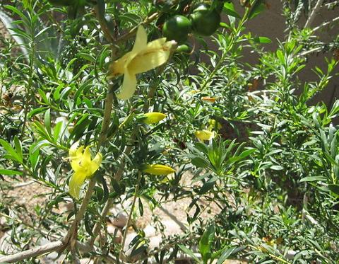 Eremophila maculata aurea