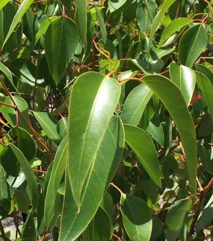 Eucalyptus cladocalyx nana
