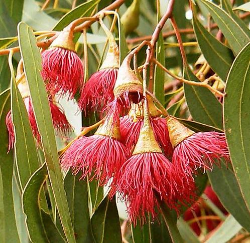 Eucalyptus Leucoxylon var. meglocarpa