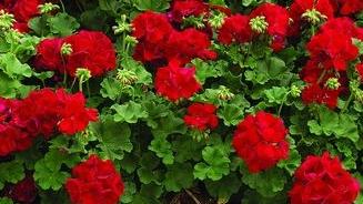 Geranium Big Red