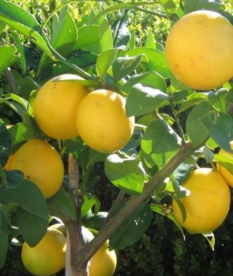 Citrus Lemonicious