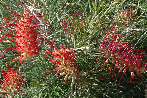 Grevillia Spirit Of Anzac