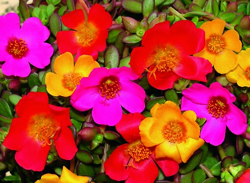 Portulaca Summer Splash
