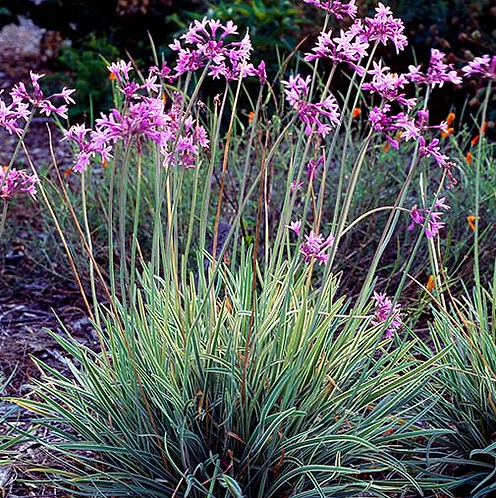 Tulbaghia Violacea Varigated Society Garlic