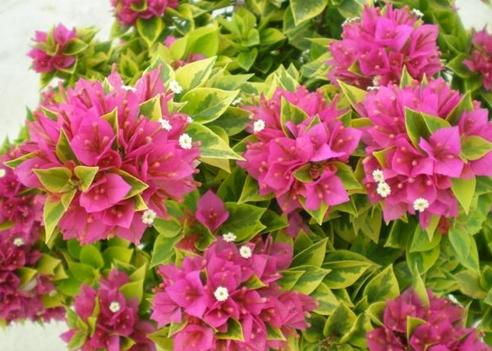 Bougainvilliea Pixie Pink
