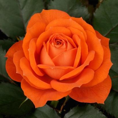 Rose Jewel Orange