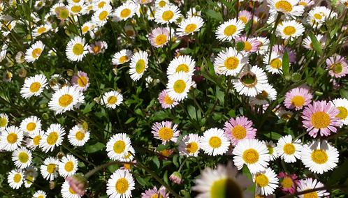 Eriigeron Karvinskianus Seaside Daisy