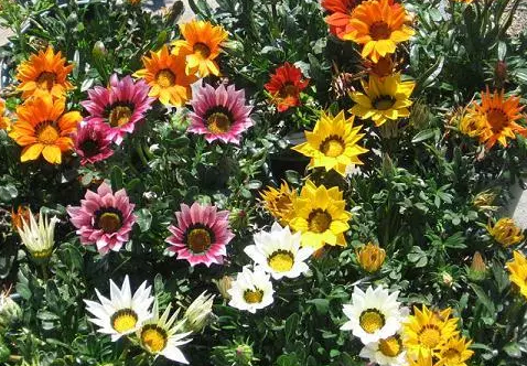 Gazania Assorted