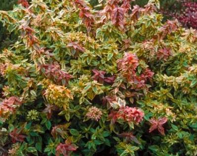 "Abelia Grandiflora ""Kaleidoscope"""