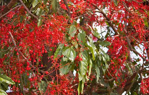 Brachychiton Acerfolium
