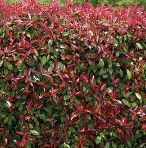 Photinia Red Robyn