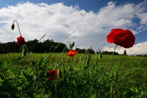 Mohnwiese im Schmallenberger Sauerland