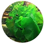 sea lettuce.png