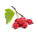 hawthorn berry.png