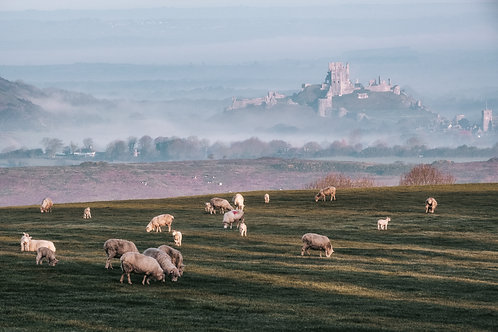 Grazing at Corfe - 036