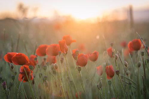 Back-lit Poppies - 005