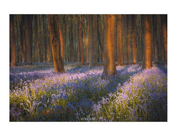 Reminiscing  Now's the time the bluebell
