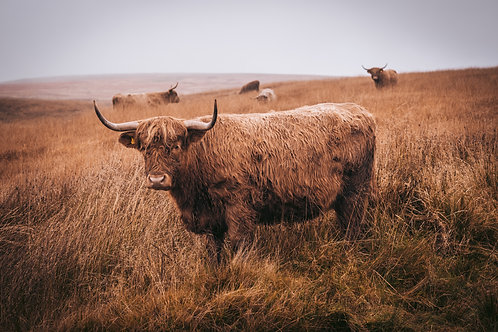 Highland Cattle - 055