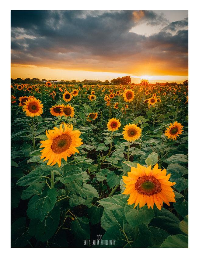 A sunflower field is like a sky with a t