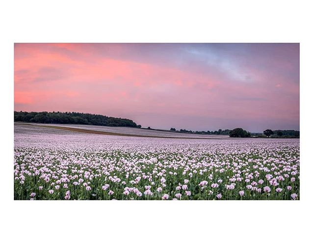 Panoramic Pinks__Another pink treat for