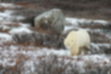 6-a-4597-Polar Bear Tundra Willow.jpg