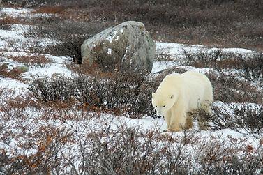 6-a-4597-Polar Bear Tundra Willow.jpg