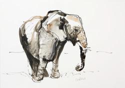 Samburu Elephant