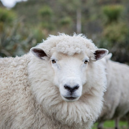 Águia ou ovelha? O Pastor tem a resposta.