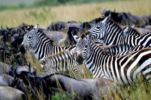 Migration, Maasai Mara, Kenya