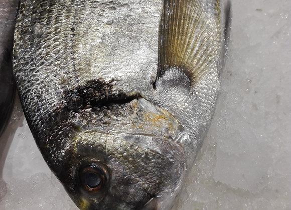 ORATA PESCATA INTERA MEDIT 1500gr    €13.00/KG      €19.50 circa a pesce