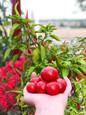 Nyskördade tomater.JPEG