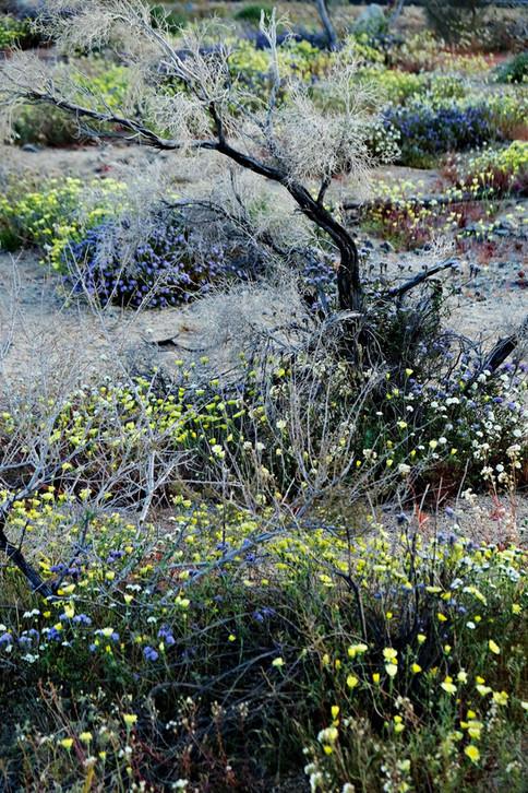 Joshua Tree National Park au printemps