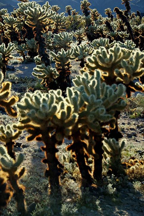 Cholla cactus - Joshua Tree Park