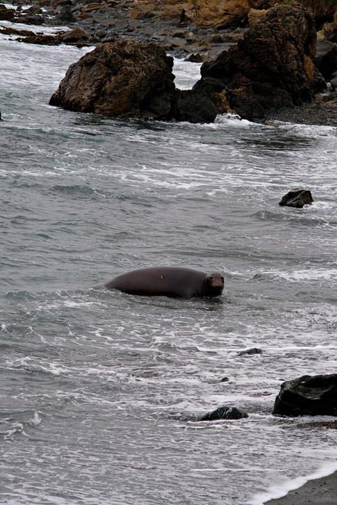 Éléphant de mer sur la Higway 1 - Californie
