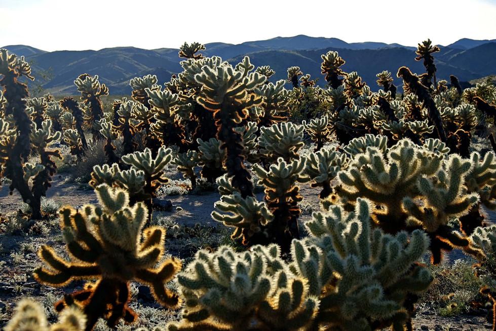 Cholla cactus garden - Joshua Tree Park
