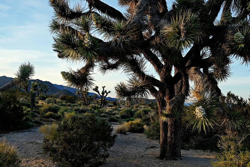 Cap Rock randonnée - Joshua Tree
