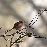 robin-redbreast-in-tree-4614088.jpg